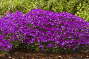 Фото 3 Как вырастить обриету? Ландшафтные дизайнеры и садоводы раскрывают все секреты