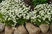 Фото 1 Как вырастить обриету? Ландшафтные дизайнеры и садоводы раскрывают все секреты