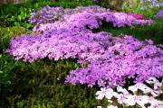 Фото 10 Как вырастить обриету? Ландшафтные дизайнеры и садоводы раскрывают все секреты