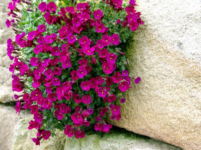 Произростает цветок в скалистых условияхили же поблизости от реки
