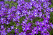 Фото 11 Как вырастить обриету? Ландшафтные дизайнеры и садоводы раскрывают все секреты