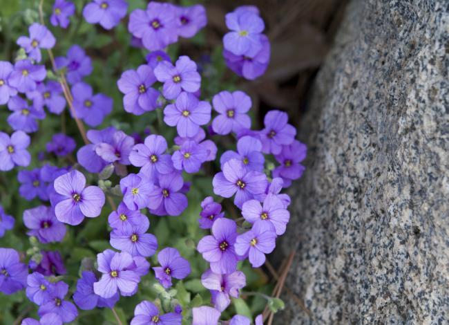 Она относится к многолетним почвопокровным растениям