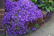 Фото 12 Как вырастить обриету? Ландшафтные дизайнеры и садоводы раскрывают все секреты