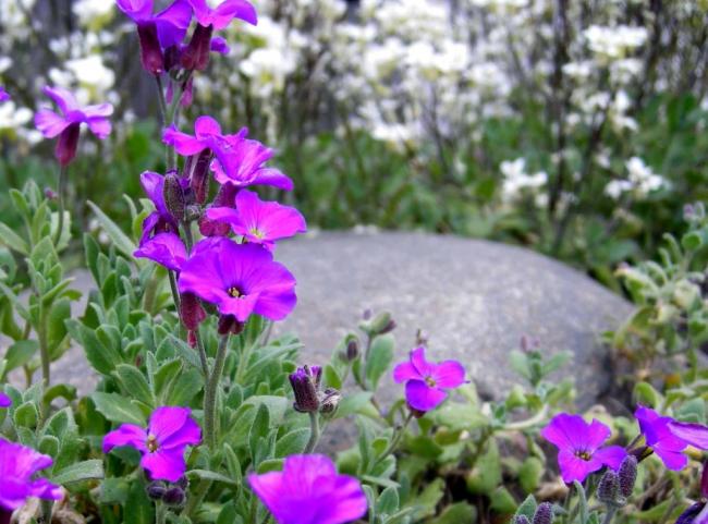 Цветение аубреции