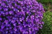 Фото 13 Как вырастить обриету? Ландшафтные дизайнеры и садоводы раскрывают все секреты