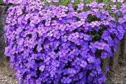 Фото 17 Как вырастить обриету? Ландшафтные дизайнеры и садоводы раскрывают все секреты