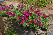 Фото 20 Как вырастить обриету? Ландшафтные дизайнеры и садоводы раскрывают все секреты