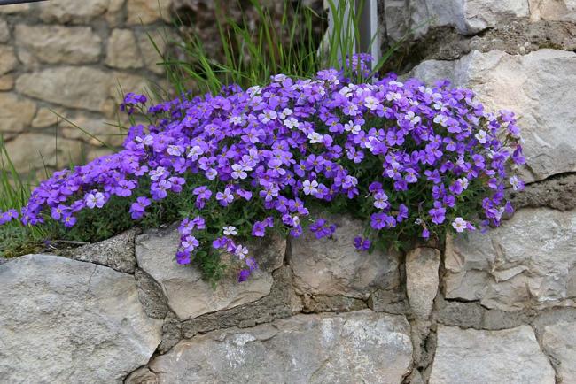 Красивое лиловое цветение станет изюминкой вашего участка