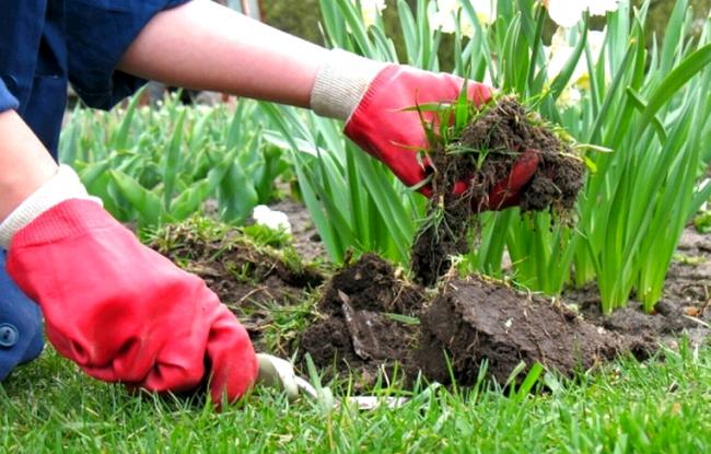 Посадка обриеты должна происходить на скудной почве