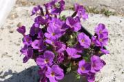 Фото 28 Как вырастить обриету? Ландшафтные дизайнеры и садоводы раскрывают все секреты