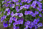 Фото 29 Как вырастить обриету? Ландшафтные дизайнеры и садоводы раскрывают все секреты