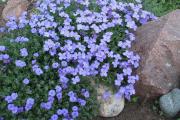 Фото 30 Как вырастить обриету? Ландшафтные дизайнеры и садоводы раскрывают все секреты