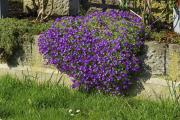 Фото 9 Как вырастить обриету? Ландшафтные дизайнеры и садоводы раскрывают все секреты