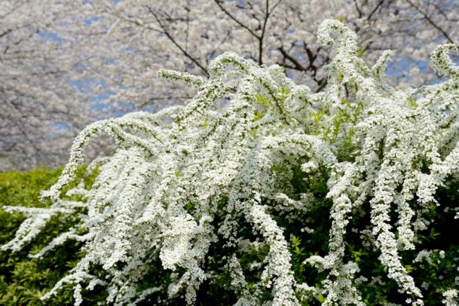 Роскошный куст с белыми цветами