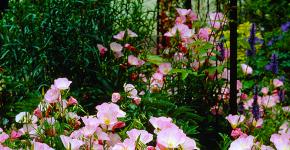 Энотера или лунный цветок: интересные факты от садоводов, хитрости посадки и ухода фото