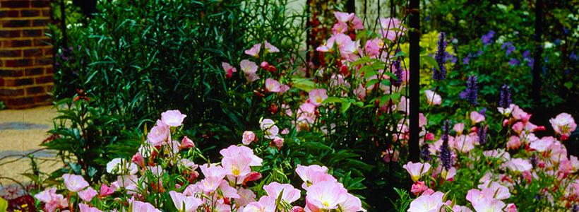 Энотера или лунный цветок: интересные факты от садоводов, хитрости посадки и ухода