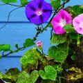 Ипомея: секреты выращивания субтропической красавицы в наших широтах фото