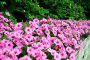 Фото 7 Ипомея: секреты выращивания субтропической красавицы в наших широтах