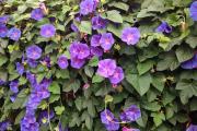 Фото 10 Ипомея: секреты выращивания субтропической красавицы в наших широтах