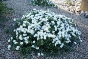 Фото 13 Ипомея: секреты выращивания субтропической красавицы в наших широтах
