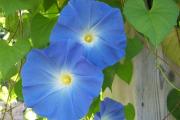 Фото 16 Ипомея: секреты выращивания субтропической красавицы в наших широтах