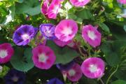 Фото 17 Ипомея: секреты выращивания субтропической красавицы в наших широтах