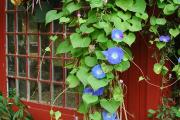 Фото 3 Ипомея: секреты выращивания субтропической красавицы в наших широтах
