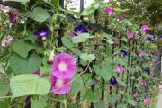 Фото 21 Ипомея: секреты выращивания субтропической красавицы в наших широтах