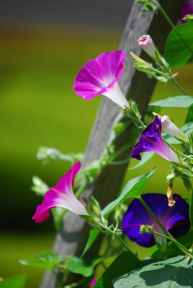 Быстрорастущее растение требует тщательного полива с минеральными удобрениями