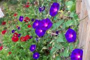 Фото 23 Ипомея: секреты выращивания субтропической красавицы в наших широтах