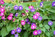 Фото 25 Ипомея: секреты выращивания субтропической красавицы в наших широтах