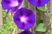 Фото 28 Ипомея: секреты выращивания субтропической красавицы в наших широтах