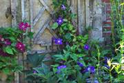 Фото 30 Ипомея: секреты выращивания субтропической красавицы в наших широтах