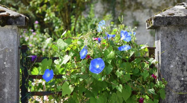 Правильные условия высадки семян или рассады в открытый грунт позволят насладиться цветением длительное время