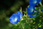 Фото 36 Ипомея: секреты выращивания субтропической красавицы в наших широтах