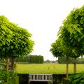 Катальпа: полезные свойства и как с ее помощью преобразить свой сад до неузнаваемости? фото