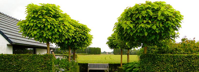 Катальпа: полезные свойства и как с ее помощью преобразить свой сад до неузнаваемости?