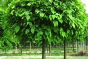 Фото 5 Катальпа: полезные свойства и как с ее помощью преобразить свой сад до неузнаваемости?
