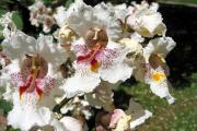 Фото 6 Катальпа: полезные свойства и как с ее помощью преобразить свой сад до неузнаваемости?