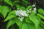 Фото 7 Катальпа: полезные свойства и как с ее помощью преобразить свой сад до неузнаваемости?