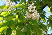 Фото 1 Катальпа: полезные свойства и как с ее помощью преобразить свой сад до неузнаваемости?