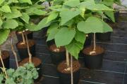 Фото 9 Катальпа: полезные свойства и как с ее помощью преобразить свой сад до неузнаваемости?