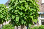 Фото 10 Катальпа: полезные свойства и как с ее помощью преобразить свой сад до неузнаваемости?