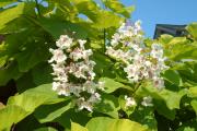 Фото 13 Катальпа: полезные свойства и как с ее помощью преобразить свой сад до неузнаваемости?