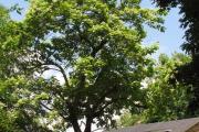 Фото 16 Катальпа: полезные свойства и как с ее помощью преобразить свой сад до неузнаваемости?