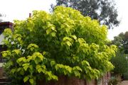 Фото 17 Катальпа: полезные свойства и как с ее помощью преобразить свой сад до неузнаваемости?
