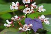 Фото 3 Катальпа: полезные свойства и как с ее помощью преобразить свой сад до неузнаваемости?