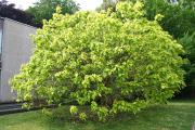Фото 19 Катальпа: полезные свойства и как с ее помощью преобразить свой сад до неузнаваемости?