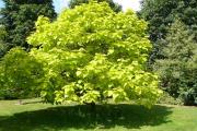 Фото 22 Катальпа: полезные свойства и как с ее помощью преобразить свой сад до неузнаваемости?