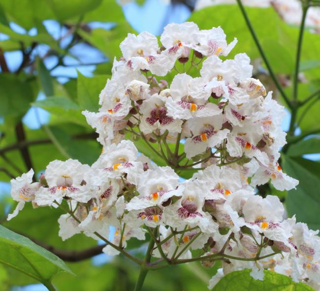 Цветы катальпы по виду сильно напоминают соцветия каштана